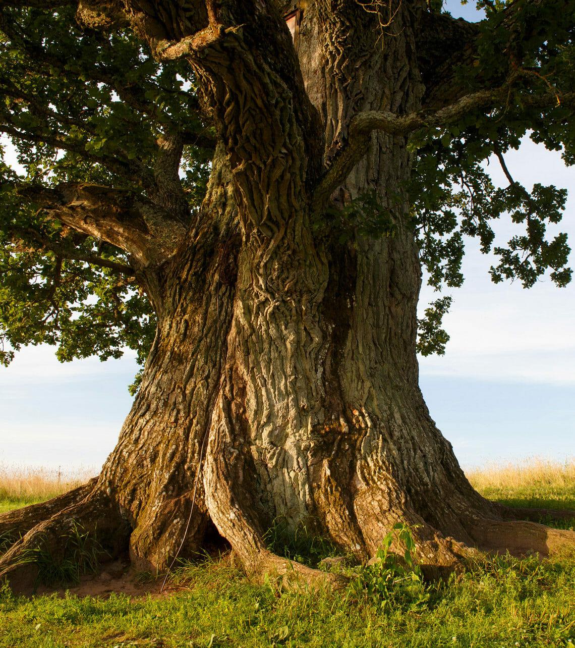 tronco robusto di quercia
